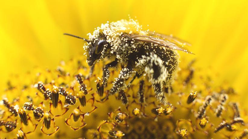 """""""More than Honey"""": Eine Biene sammelt Nektar auf der Blüte einer Sonnenblume im niederländischen Utrecht."""