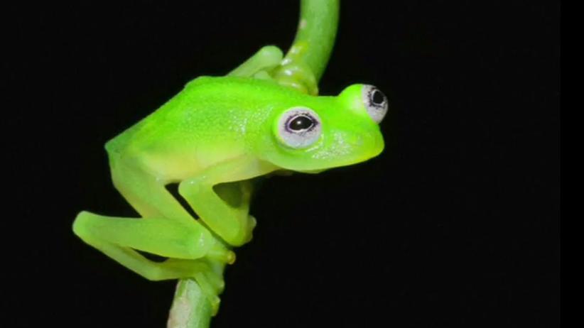 Frosch: Kermit, bist du es?