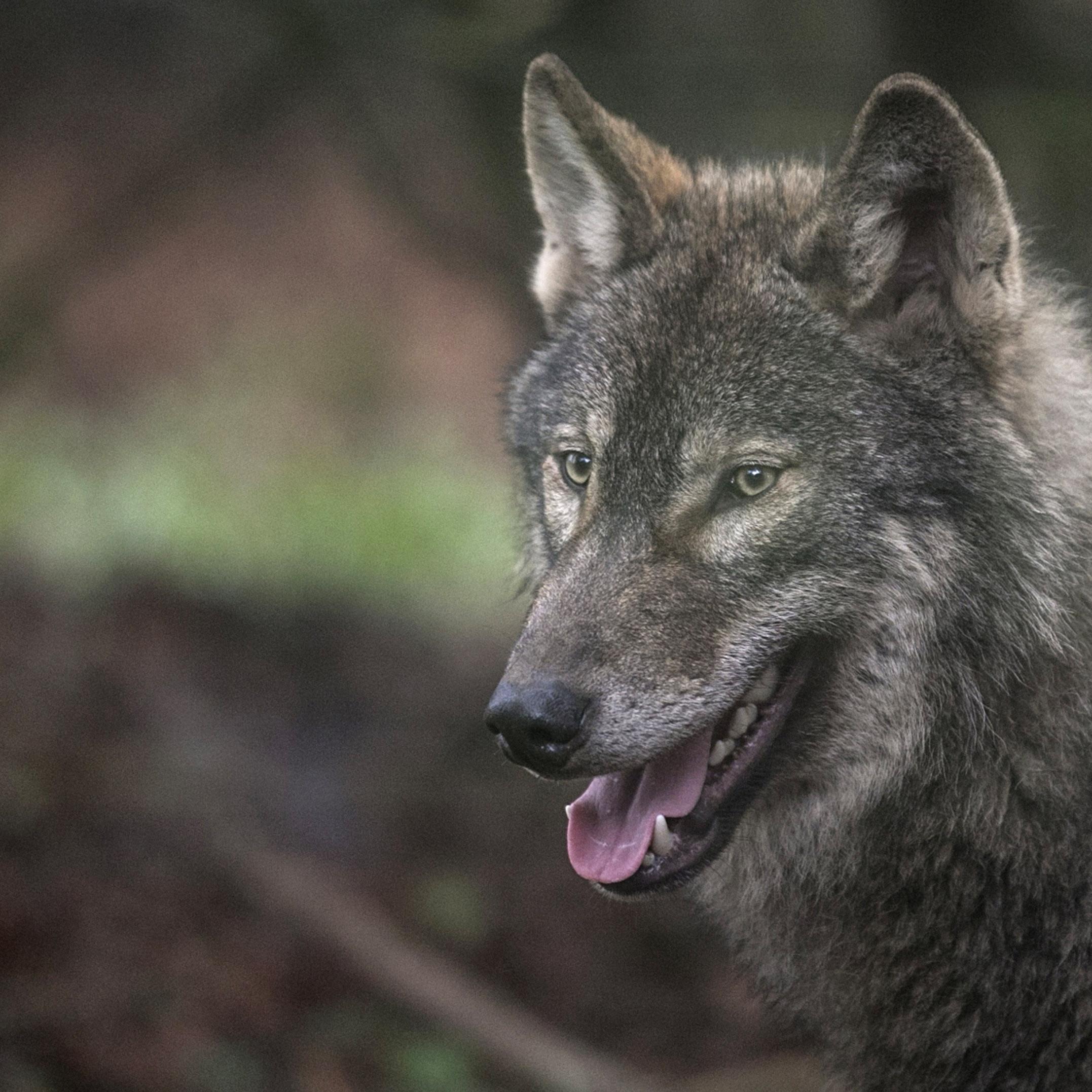 Raubtier Wolf Deutschland Umwelt