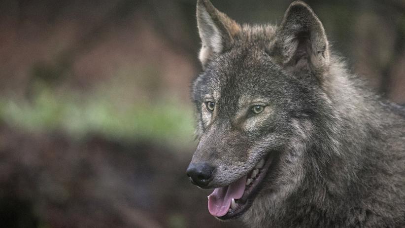 Raubtiere: Die Wölfe sind da