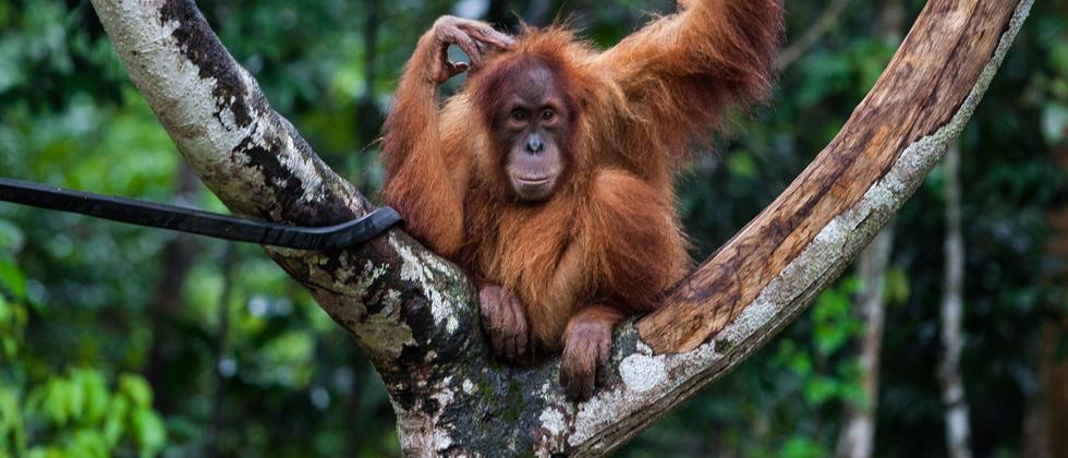 Orang-Utans: Wer hier ist, hat weder Mutter noch Wald