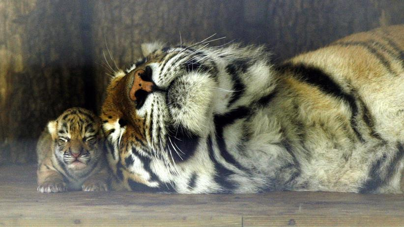 """Tiger: Der sibirische Tiger """"Shakyra"""" liegt neben einem ihrer fünf zwei Tage alten Jungen im Zoo von Hamm."""