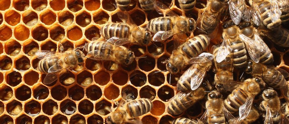 Biene Bienenstock Wabe Honig Milbe