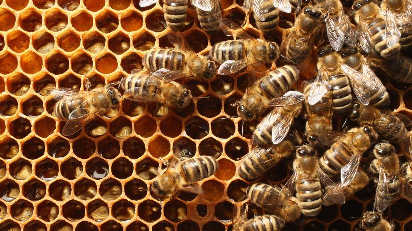Tierzucht: Superbienen in der Testwabe