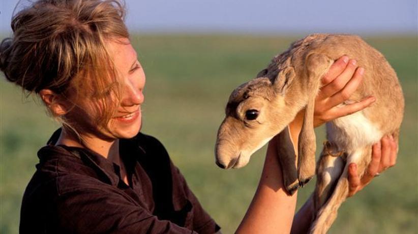 Wissen, Saiga-Antilopen, Seuchen, Zentralasien, Russland, Artenschutz, Artensterben, Tier, Bakterien, Klimawandel