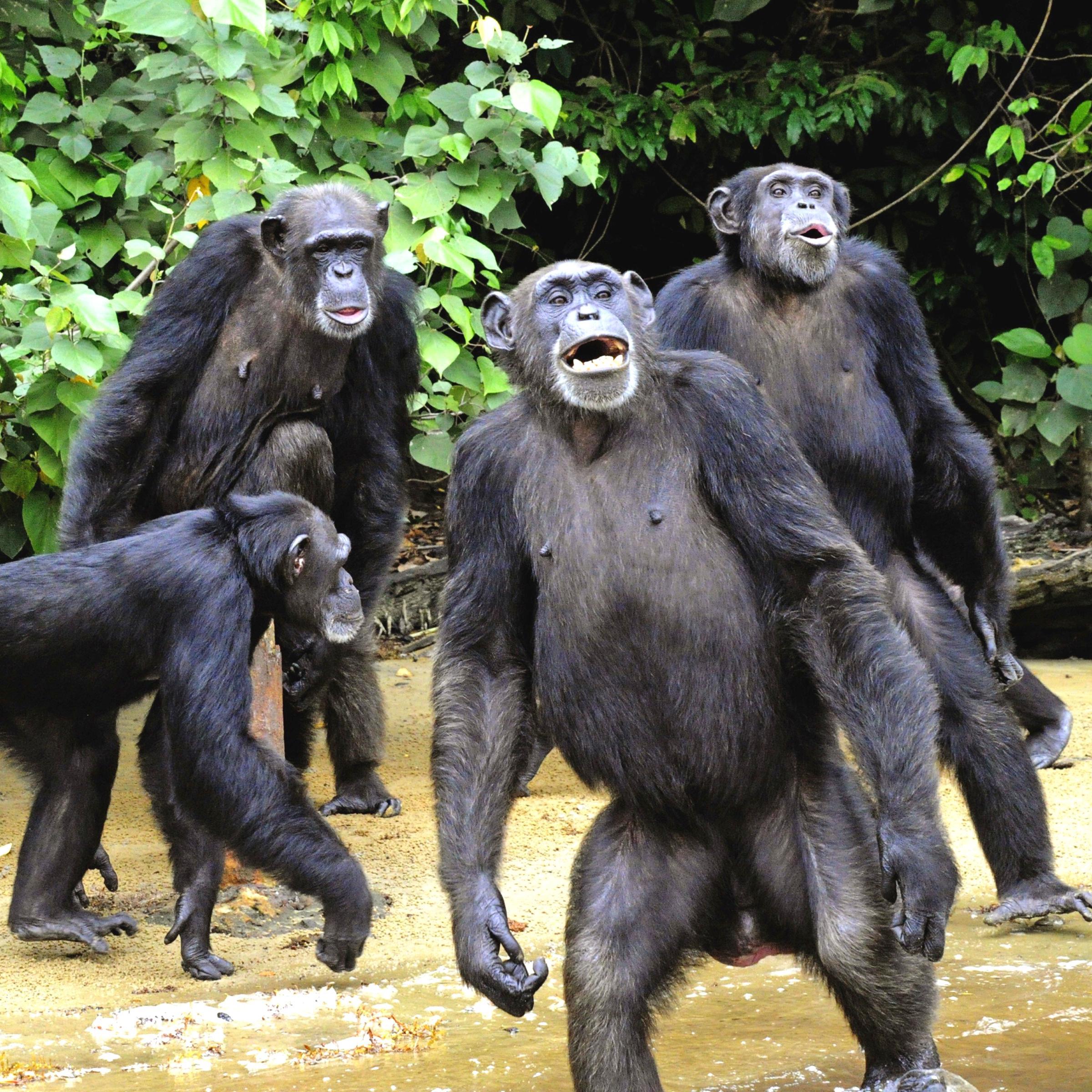 Schimpansen Tierversuche Affenversuche