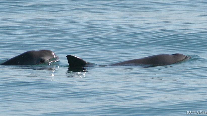Ein seltener Anblick: freilebende Vaquitas im Golf von Mexiko, 2008