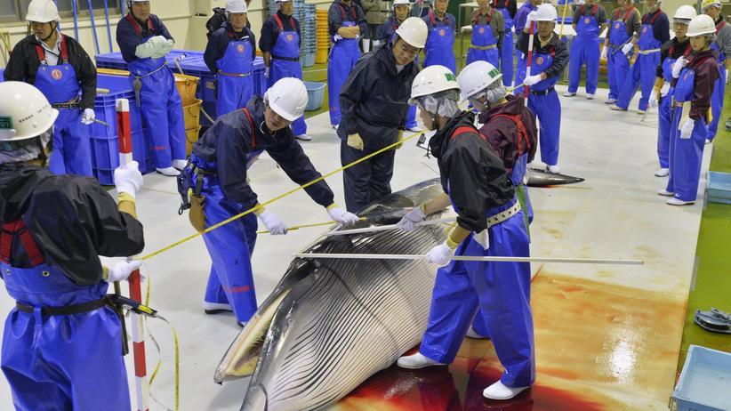Walfang: Japanische Forscher untersuchen einen Minkwal im Hafen von Ishinomaki im April 2014 – nennenswerte Erkenntnisse hat Japan aus dem Walfang bisher nicht gewonnen.