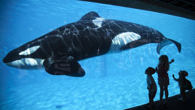 Tierschutz: Derzeit leben insgesamt 24 Orca-Wale in den Freizeitparks von SeaWorld in San Diego, Orlando und San Antonio.