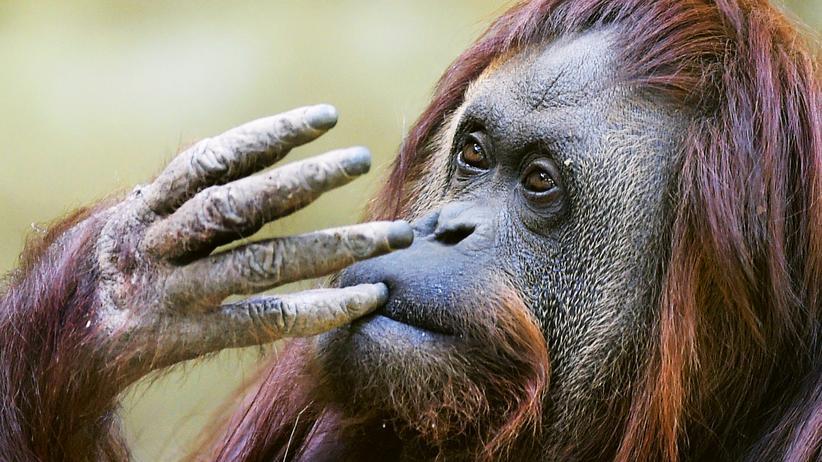 Orang-Utan: Muße küsst Affe