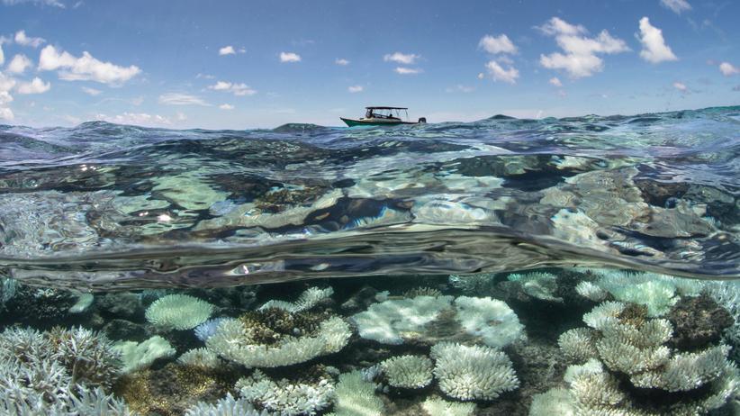 Korallenbleiche: Korallen, so bleich wie der Tod