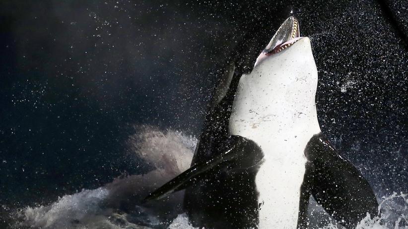 Orca Säugetier Meerestier Ozean Meer Wale