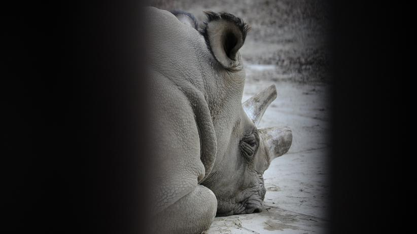 Das letzte Nashorn: Sudan heißt der letzte Nördliche Breitmaulnahshorn-Bulle Afrikas. Zeugt er keinen Nachwuchs mehr, stirbt die Art aus.