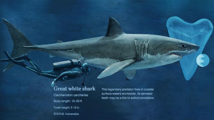 Meeresbiologie: Tauchen Sie jetzt ab – mit Haien!