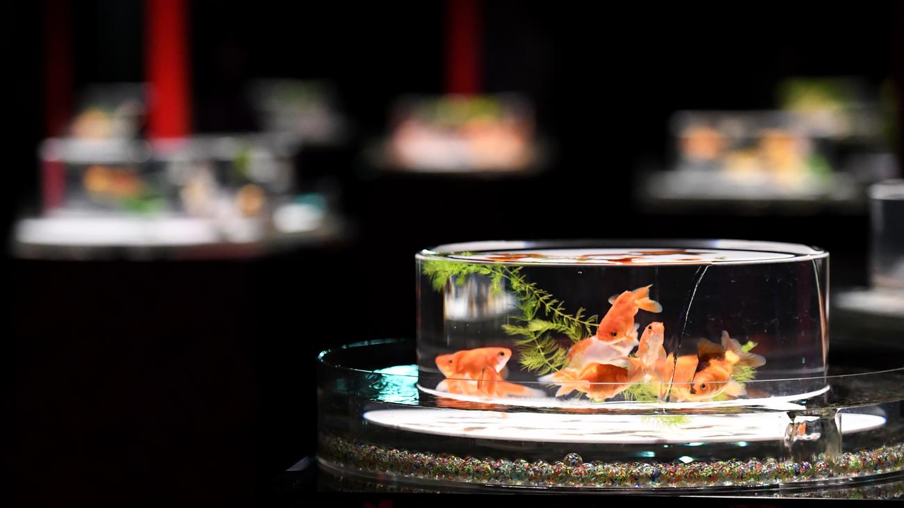 Aquarium in der grauzone von tier und dekor zeit online for Seltene zierfische