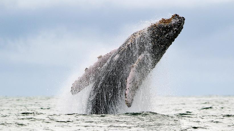 Artenschutz: Ein Buckelwal vor der Küste Kolumbiens