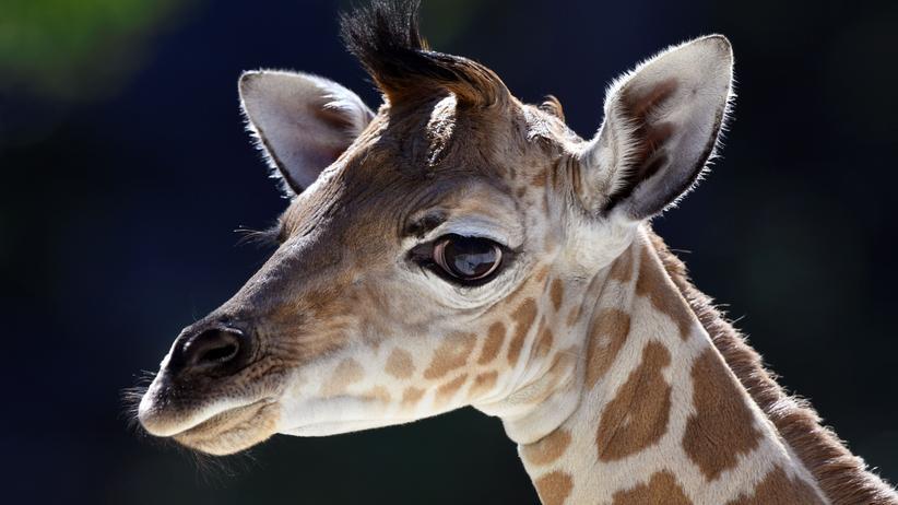 Tier-Quiz: Sind Sie ein Giraffengeek?