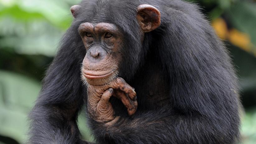 Milzbrand: Ein Schimpanse in einem Zoo an der Elfenbeinküste. In dem Land hatten sich seine Artgenossen mit dem neuen Milzbrand-Erreger infiziert.