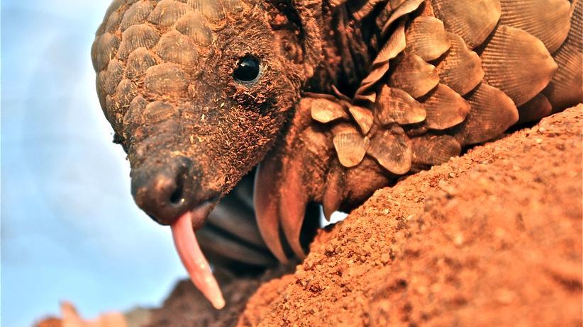 Schuppentiere Artenschutzkonferenz illegaler Handel Säugetier