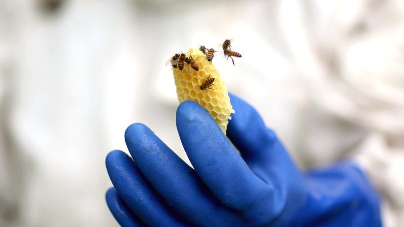 Zika-Bekämpfung: Bienen produzieren nicht nur Honig, sondern zählen auch zu den wichtigsten Bestäubern.
