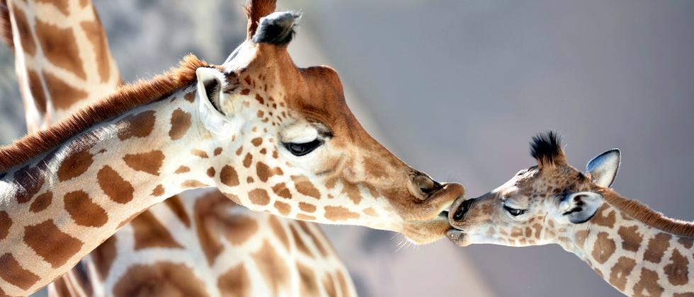 zoologie-giraffen-dna-arten-unterarten-kuss