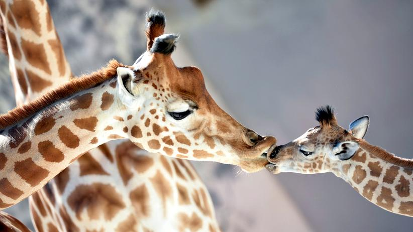 Zoologie: So viel Giraffe war nie