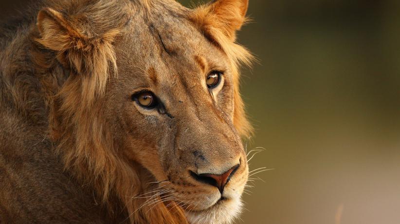 Artenschutzkonferenz Cites Löwe Afrika Schutz Tierschutz
