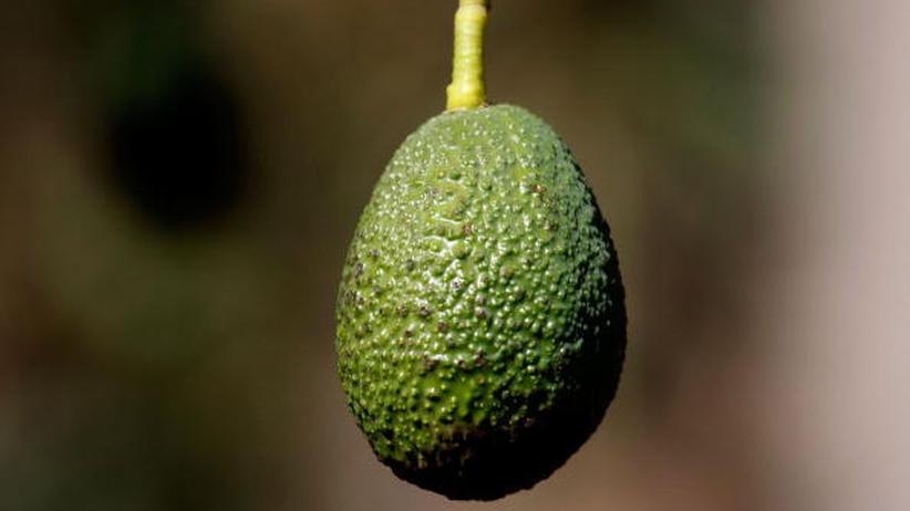 Die Avocado: die ungefähr 400 Gramm schwere Beere eines immergrünen Laubbaumes