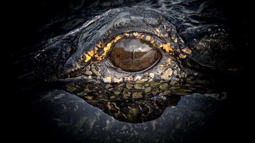 National Geographic Fotowettbewerb: Auge in Auge mit dem Alligator