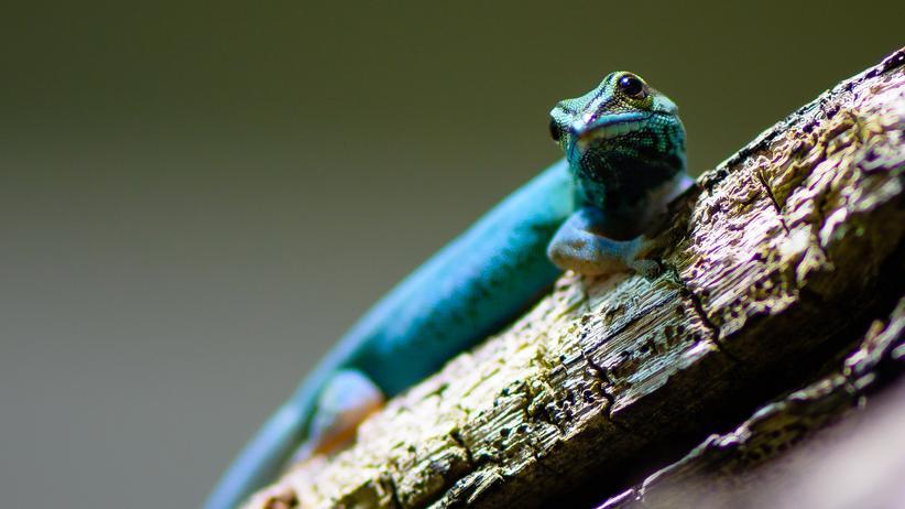 Blauer Zwerggecko Tansania Lygodactylus williamsi