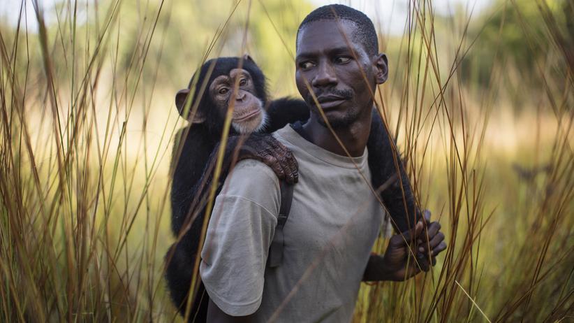 Schimpansen: Diese Kita ist das reinste Affenhaus