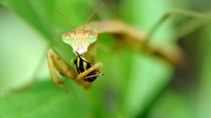 Insekt des Jahres Gittesanbeterin