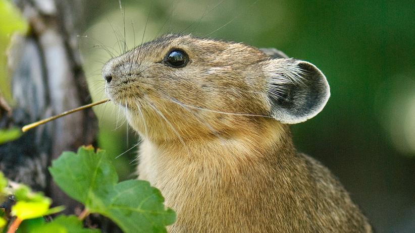Tier-Quiz: Der Silber-Pfeifhase ist im Sommer rot, oder?
