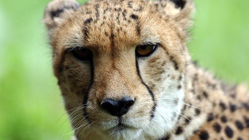 Geparden: Eines der letzten Geparden-Männchen – nur lebte es nie in seiner asiatischen Heimat, sondern wurde schon in Gefangenschaft geboren: In einem Zoo in Neuseeland.
