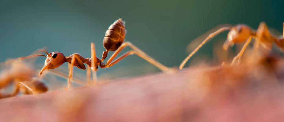 Ameisen Intelligenz Verhaltensforschung Orientierung Rückwärtslaufen