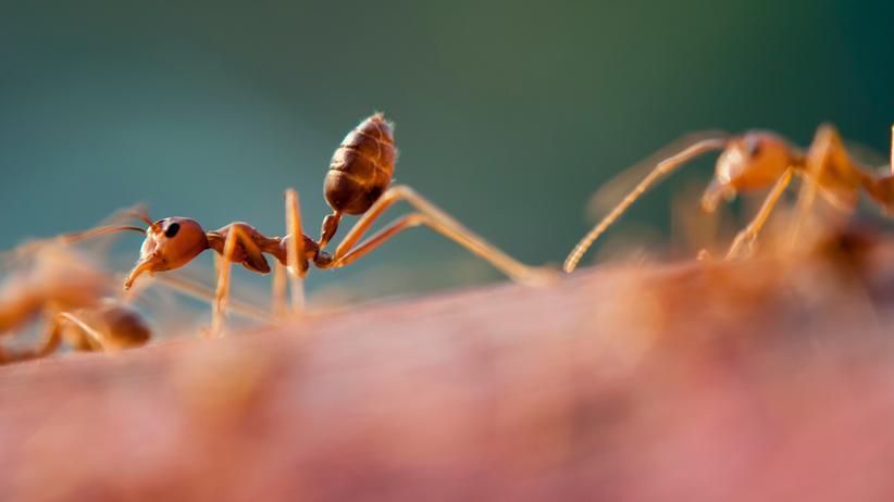 Ameisen: Navi? Brauchen Ameisen nicht!