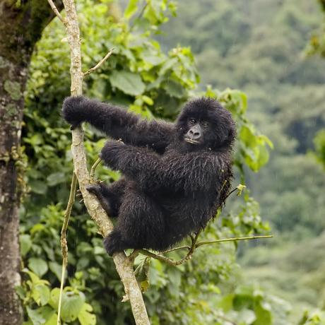Primaten Affe Gorilla Kongo