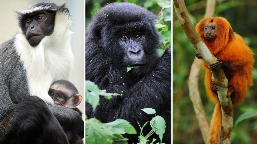 Primaten Artenschutz Affen Gorilla Roloway Tamarin