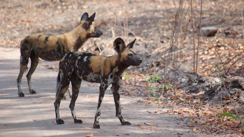 Artenschutz: Fressen Wildhunde ihre Beute lebendig?