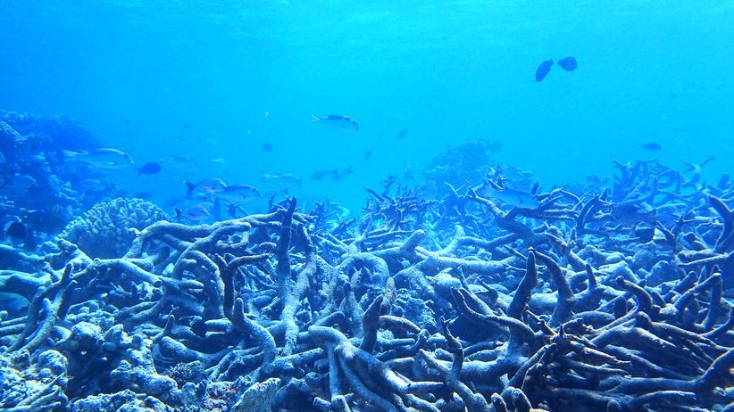 Korallensterben: Bleich, bleicher, Great Barrier Reef
