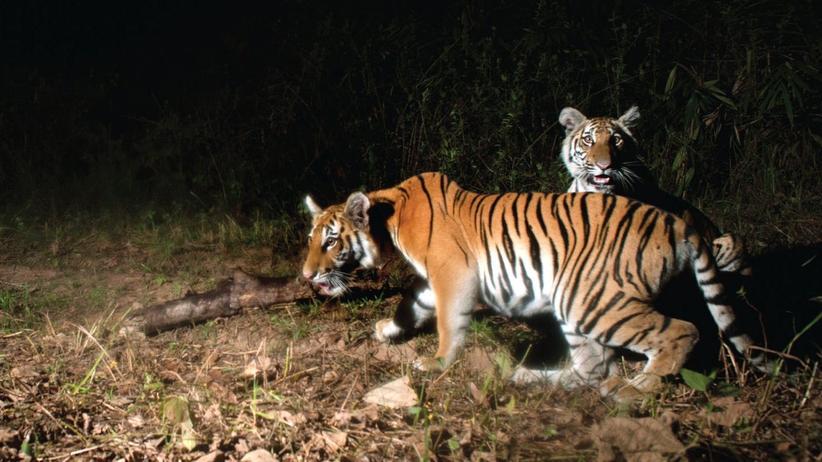 Thailand Indochinesischer Tiger Naturschutz Tierschutz Artenschutz