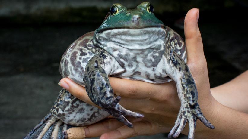 Froschschenkel: Ein weiblicher nordamerikanischer Ochsenfrosch auf einer Froschzucht-Farm in Singapur.