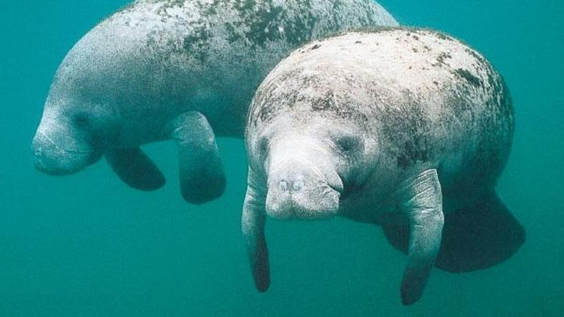 Artenschutz: Manatis brauchen warmes Wasser zum Überleben.
