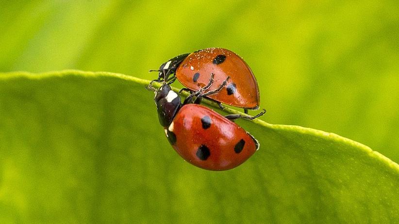 Marienkäfer: Stehen die Punkte eines Marienkäfers für sein Alter?