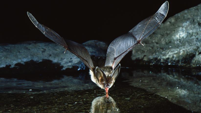 Fledermausnacht: Wo die weißen Vampire abhängen