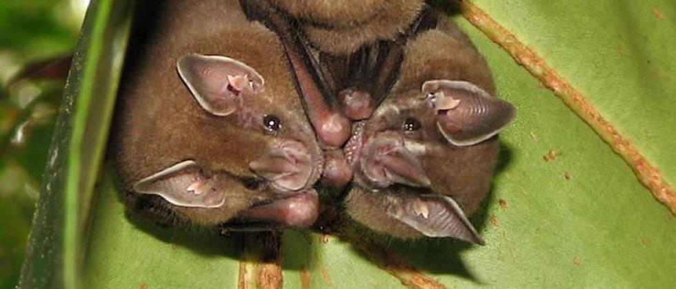 Batnight Fledermaus Fruchtvampir Fledermäuse