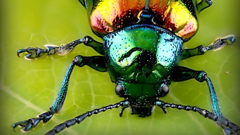 Biologische Vielfalt: Ein schillernder Blattkäfer, dessen Art der Fotograf leider nicht verraten hat.