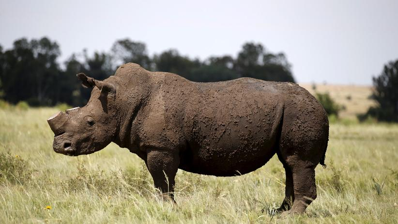 Nashorn-Auktion: Ein Nashorn auf der Farm von Züchter John Hume in Klerksdorp, Südafrika. Dem Tier wurde das Horn abgenommen, um Wilderer davon abzuhalten, es deswegen zu töten.