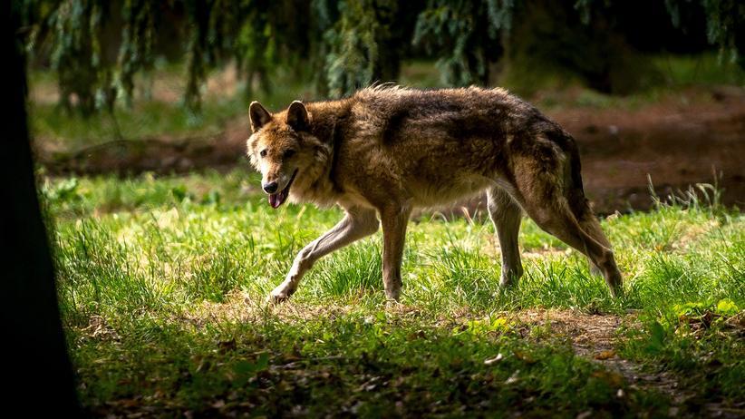 Wölfe: Seit 2000 breiten sich Wölfe wieder in Deutschland aus.