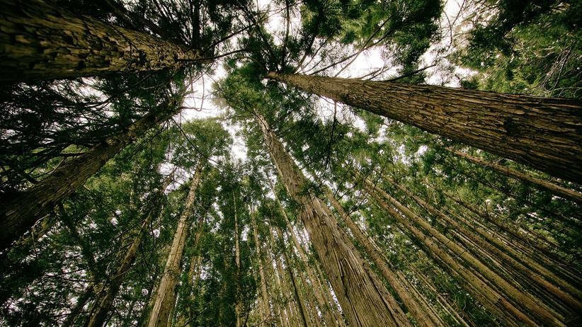 Bäume: Wehren kann man sich am besten, wenn man weiß, dass da jemand kommt. Und genau deswegen reden Bäume miteinander.